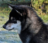 Example of the black and tan coat color (head)